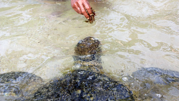 feeding turtle hikkaduwa