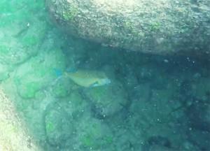 snorklingsfisk
