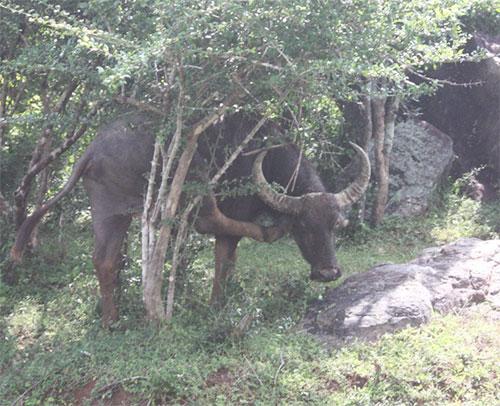 buffalo camouflauge level 7