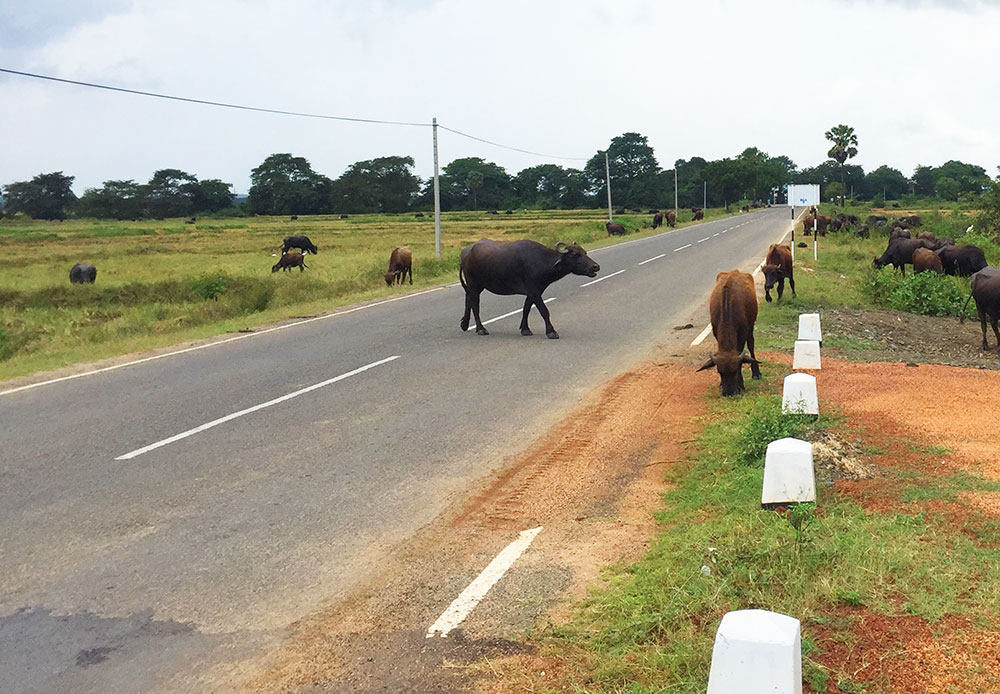 cows on the road sri lanka