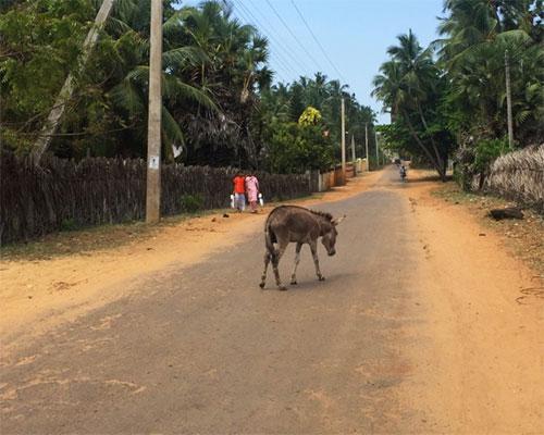 donkey on the road sri lanka