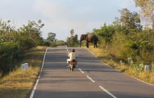 elephant on the road sri lanka