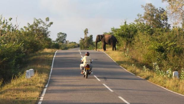 elephant on the road sri lanka
