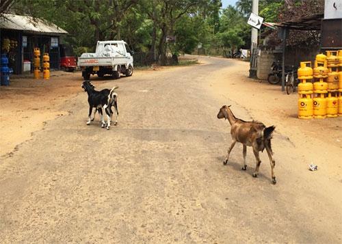 goats on the road sri lanka