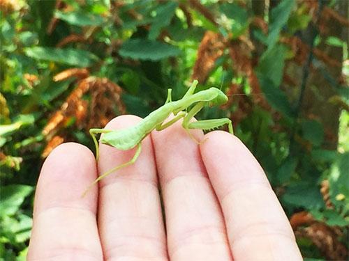 praying mantis hand