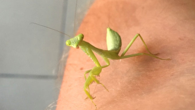 lars-bertil praying mantis