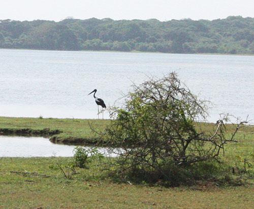 uncommon stork sri lanka