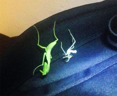 praying mantis molt