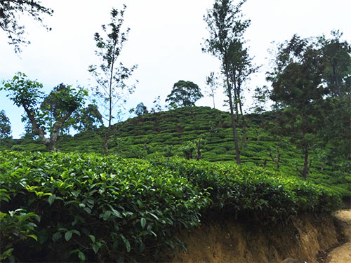 tea plantation ella little adam's peak