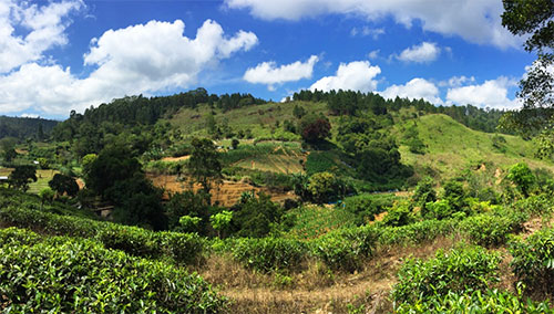 tea plantations ella sri lanka